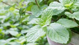 verdure della menta fresca Fotografie Stock