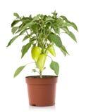 Verdure della pianta del pepe in POT Fotografia Stock Libera da Diritti