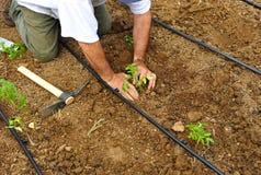 Verdure della semina dell'agricoltore nel frutteto, Andalusia, Spagna Immagine Stock Libera da Diritti