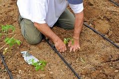Verdure della semina dell'agricoltore nel frutteto, Andalusia, Spagna Fotografia Stock