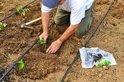 Verdure della semina dell'agricoltore nel frutteto, Andalusia, Spagna Immagini Stock Libere da Diritti