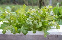 Verdure di coltura idroponica Fotografia Stock Libera da Diritti