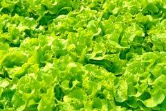 Verdure di coltura idroponica: piantatura della verdura senza suolo Fotografia Stock