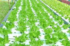 Verdure di coltura idroponica: piantatura della verdura senza suolo Immagini Stock Libere da Diritti