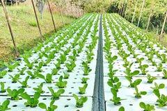 Verdure di coltura idroponica: piantatura della verdura senza suolo Fotografie Stock