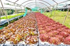 Verdure di coltura idroponica: piantatura della verdura senza suolo Immagine Stock Libera da Diritti