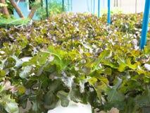 Verdure di coltura idroponica (quercia rossa), alimento sano, individuato all'aperto Fotografia Stock