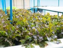 Verdure di coltura idroponica (quercia rossa), alimento sano, individuato all'aperto Immagini Stock Libere da Diritti