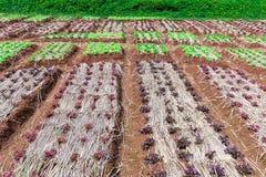 Verdure di insalata mista organiche in piantagione Immagini Stock