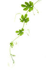 Verdure di Ivy Gourd fotografia stock
