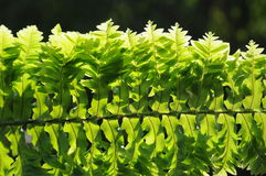 The verdure fern leaves. In the morning sunshine Stock Image