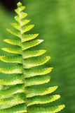 The verdure fern leaves. The verdure burgeoning fern leave in the spring morning sunshine Royalty Free Stock Images