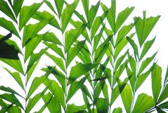 Verdure fish tail palm leaves. The verdure leaves of tropical palm plant Royalty Free Stock Photo