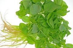 Verdure fresche degli spinaci Immagine Stock