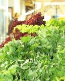 Verdure fresche della lattuga del perple e di verde a Riga Fotografia Stock Libera da Diritti