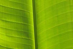 Verdure green banana tree leave Royalty Free Stock Photography