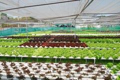 Verdure idroponiche Immagini Stock Libere da Diritti