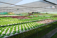 Verdure idroponiche Fotografie Stock