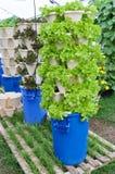 Verdure idroponiche crescenti Immagini Stock Libere da Diritti
