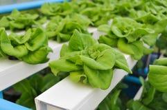 Verdure idroponiche crescenti Fotografia Stock