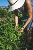 Verdure irriconoscibili di raccolto della donna in orto domestico fotografie stock