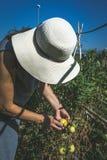 Verdure irriconoscibili di raccolto della donna in orto domestico fotografie stock libere da diritti