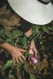 Verdure irriconoscibili di raccolto della donna in orto domestico Immagini Stock Libere da Diritti