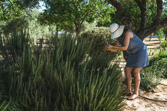 Verdure irriconoscibili di raccolto della donna in orto domestico fotografia stock