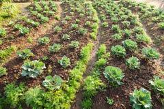 Verdure nel campo di verdure Immagine Stock