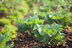 Verdure nel campo di verdure Immagine Stock Libera da Diritti