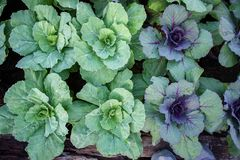 Verdure nel giardino, crescita organica delle verdure Immagine Stock