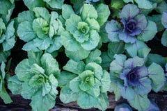 Verdure nel giardino, crescita organica delle verdure Fotografia Stock Libera da Diritti