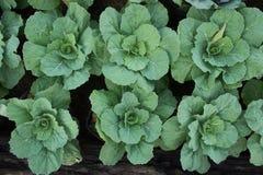Verdure nel giardino, crescita organica delle verdure Fotografia Stock