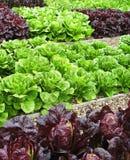 Verdure nell'assegnazione Fotografie Stock