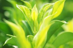 Verdure new leaves Stock Images