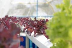 Verdure non tossiche crescenti Fotografia Stock Libera da Diritti