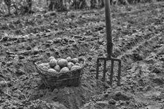 Verdure organiche sul campo L'agricoltore tiene le verdure raccolte, patate in un canestro campagna immagine stock