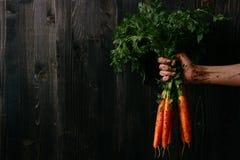 Verdure raccolte fresche organiche Mano del ` s dell'agricoltore che tiene le carote fresche Fondo di legno nero con lo spazio de Immagine Stock Libera da Diritti