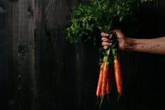 Verdure raccolte fresche organiche Mano del ` s dell'agricoltore che tiene le carote fresche Fondo di legno nero con lo spazio de Fotografia Stock