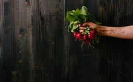 Verdure raccolte fresche organiche Mano del ` s dell'agricoltore che tiene ravanello fresco Fondo di legno nero con lo spazio del Immagini Stock Libere da Diritti