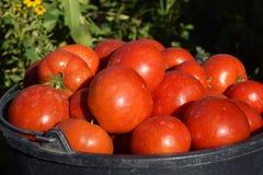 Verdure rosse del pomodoro Fotografia Stock Libera da Diritti