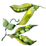 Verdure selvatiche di sed del pisello in uno stile dell'acquerello isolate Immagine Stock