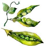 Verdure selvatiche di sed del pisello in uno stile dell'acquerello isolate Fotografia Stock Libera da Diritti