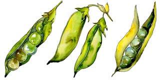 Verdure selvatiche di sed del pisello in uno stile dell'acquerello isolate Fotografie Stock