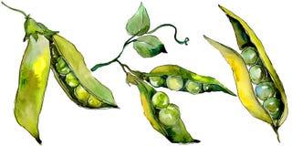 Verdure selvatiche di sed del pisello in uno stile dell'acquerello isolate Immagine Stock Libera da Diritti