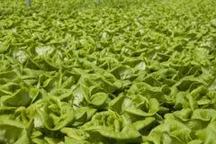 Verdure verdi Fotografia Stock Libera da Diritti