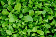 Verdure verdi Fotografia Stock