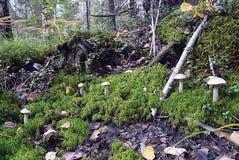 Verdure verdi degli alberi del muschio del lichene dell'erba della foresta del fungo Fotografie Stock Libere da Diritti