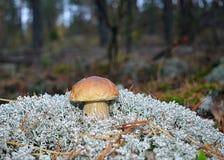 Verdure verdi degli alberi del muschio del lichene dell'erba della foresta del fungo Fotografia Stock