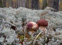 Verdure verdi degli alberi del muschio del lichene dell'erba della foresta del fungo Immagini Stock Libere da Diritti